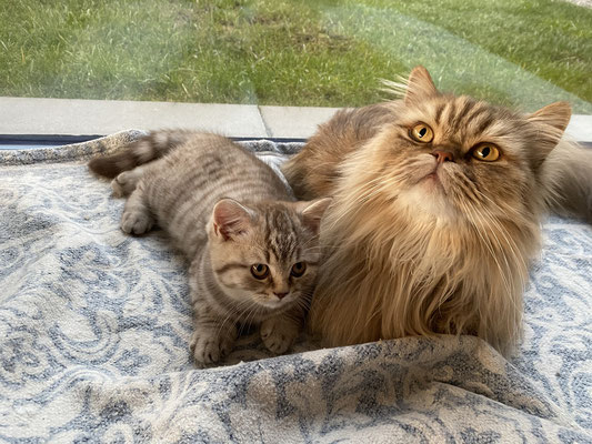 Felinus mit Bolero
