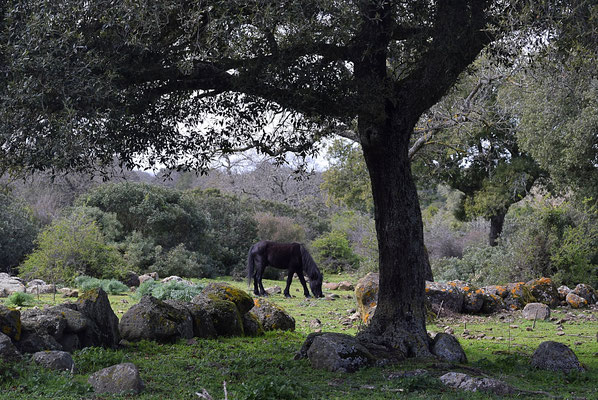 Cavallino della Giara