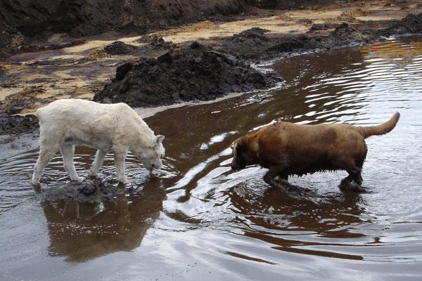 onze allereerste hond Ashley de bouvier (1993-2006) en Tosca