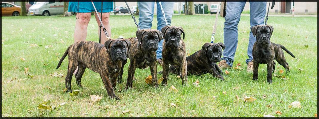 Sjors, Bear, Didga, Olaf en Doris 12 weken oud.