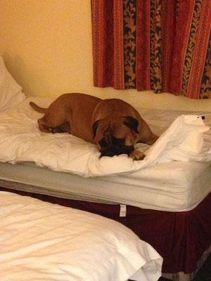 op een Engels hotelbed (crufts 2014)