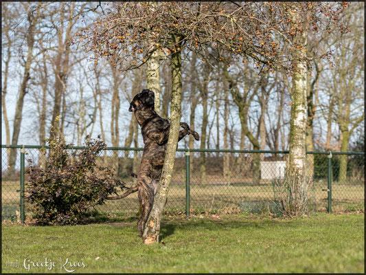 onze acrobaat probeert appeltjes uit de boom te halen :-))
