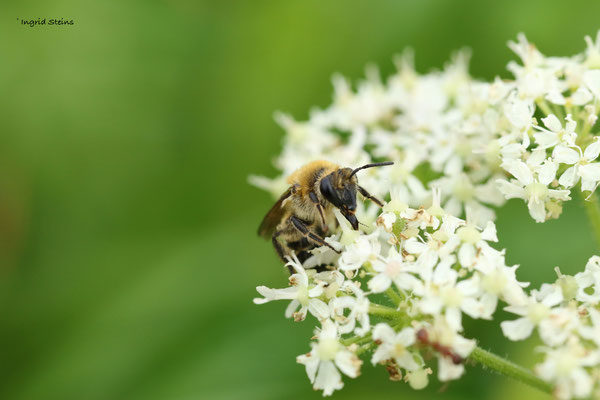 klimopbij (Colletes hederae)