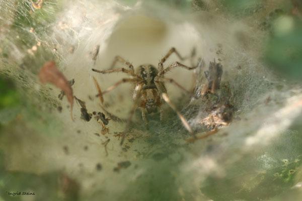 gewone doolhofspin (Agelena labyrinthica)