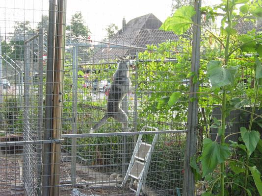 Je höher der Zaun, desto kletterer der Zwerg!