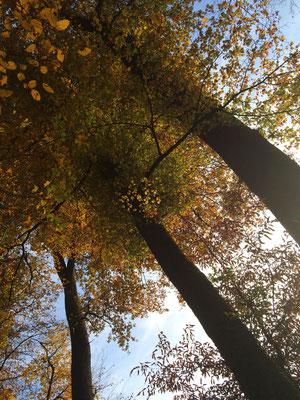 Sich der Sonne entgegenstrecken, unter orange-gelben Baumkronen  träumen, zartes Luftspiel auf der Haut  fühlen, heisst: Ein Geschenk des Herbstes erhalten zu haben...