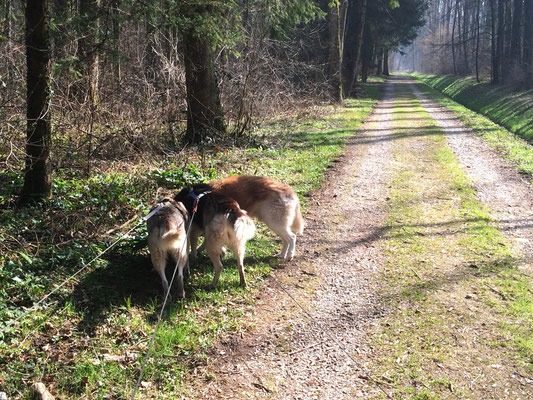 Ice, Borea und Chenook im Frühlingswald