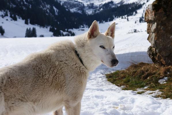 Auf dem Urnerboden, wo Snow all die Jahre mein treuer und verlässlicher Freund und Leithund war.