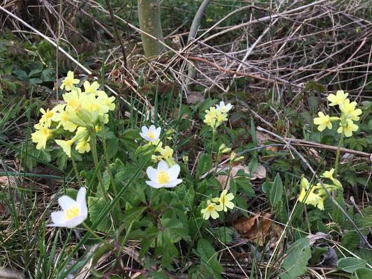 Erste Frühlingsblümchen; die Gelben könne man scheins fressen?