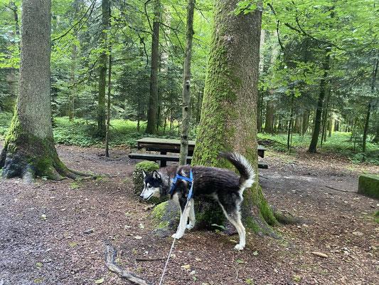 11.7.2021; heute wieder mal in den Bergwald hinauf, musste dringend was erledigen...