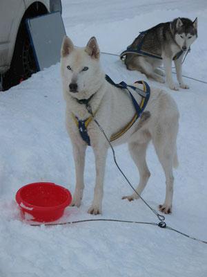 Rudelchef und Leithund im Gespann, das vereint dieser charismatische Siberian Husky.