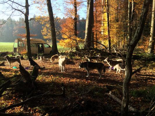 Den Herbstwald geniessen nach dem Training, Amarok hat es verdient.