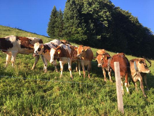 Eine ganze Herde Rinder kam auf uns zugerannt, wedelten mit den Schwänzen und flatterten mit den Ohren, so Freude hatten sie an mir.