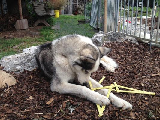 Yukon will seine Pfotengrösse messen; noch ist es ihm nicht so recht gelungen