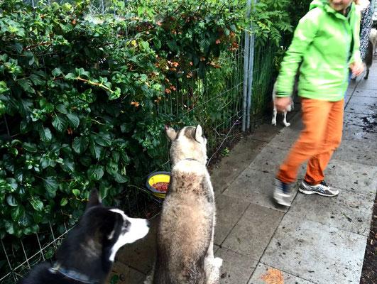 Doch genau das tut Noah, und der arme Yukon wartet und schaut, und wartet und schaut, - und würde wohl heute noch warten und schauen, weil er ein sehr lieber Husky ist --- aber da schreitet dann zum Glück für ihn Frauchen ein.