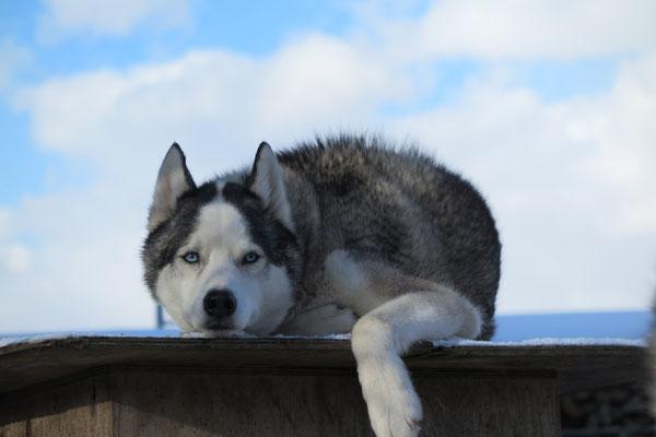 Auf einem Flachdach des Huskydörfli
