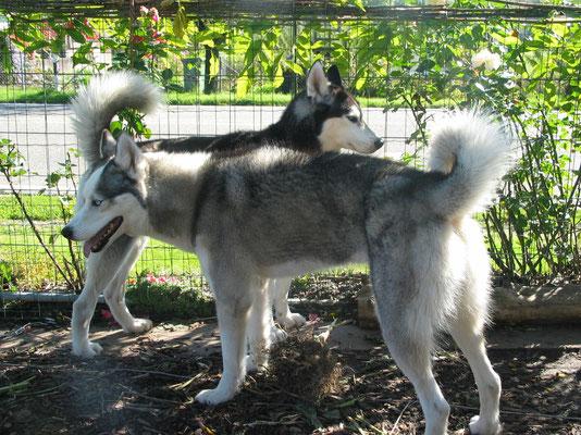 """Amarok (hinten) ist am """"Grössele"""", doch Yukon lässt das kalt"""