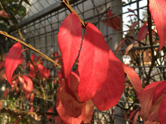 Rot ist die Farbe der Liebe, und treibt auch im Herbst noch kräftige Triebe.
