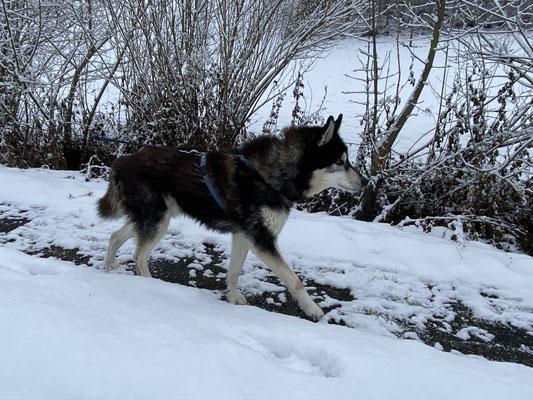 16 Jahre und 37 Tage; Merkur fühlt sich auf dem Trail und als altgedienter Leithund wird da auch jetzt noch gezogen