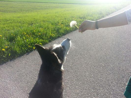Auf herrlichen Spaziergängen weiss Frauchen immer etwas Spezielles für mich. Hier lernt sie mich Pusteblume ausblasen. Gar nicht so einfach im Fall -