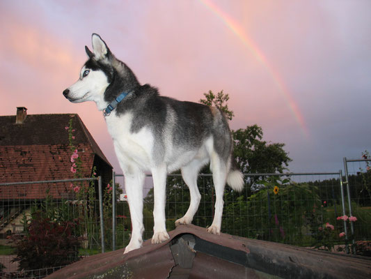 "Fotoshooting: ""Husky-Rüde mit Regenbogen""."