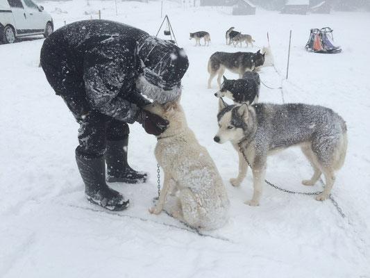 Mit seinem Rudel zusammen zu sein, das ist Snow das allerwichtigste, dafür nimmt er alles in Kauf.