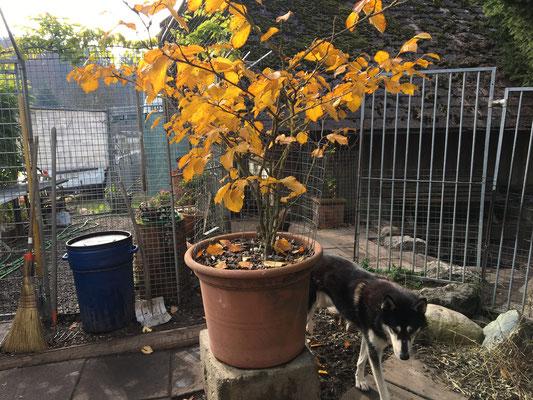 Goldgelb und Schwarz, welch herrlicher Kontrast; wie schön Merkur`s Fell zu den Herbstfarben passt...