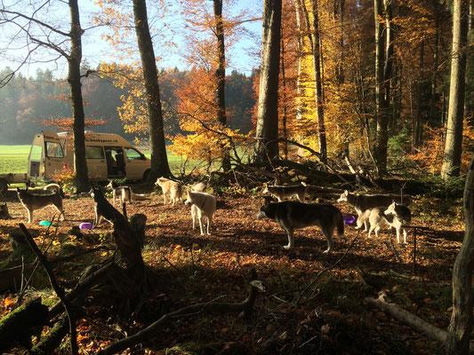 Die huskypost geniesst nach dem Training das Süsse-Nichts-Tun in der goldenen Herbstsonne...