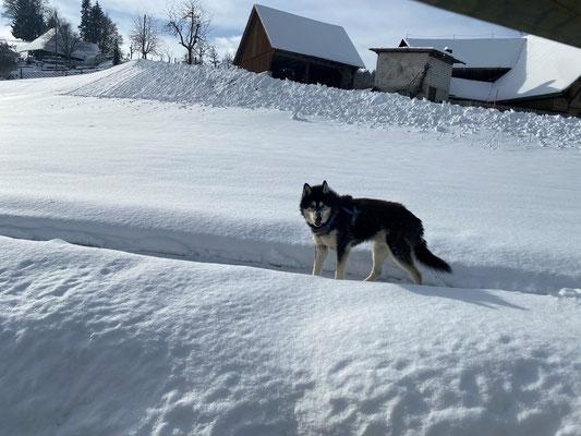 26.1.2021; ich kann es nicht lassen, der Schnee ist mein Element und das hier mein Trail