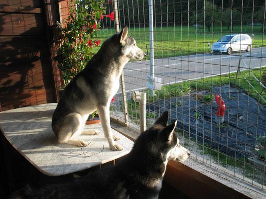 Rainey und Amarok; Was dieser Nachbar wohl wieder Komisches macht?