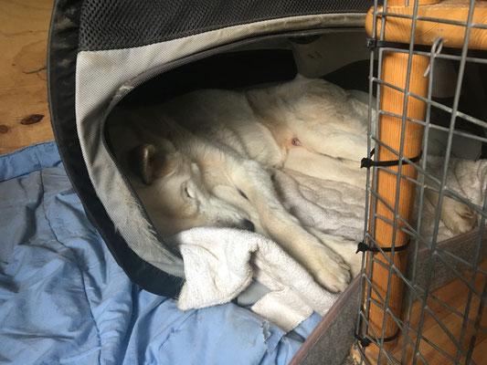 Das Training verschläft mein alter Freund jetzt im warmen Auto.