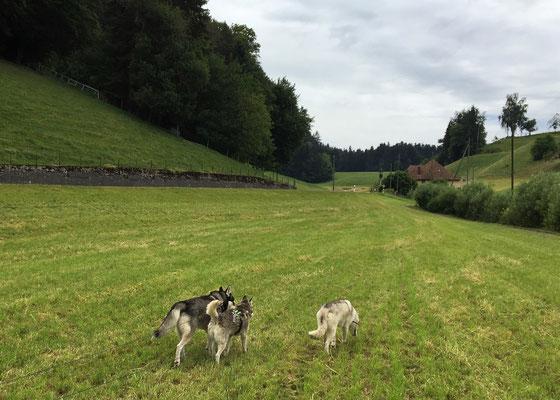 Auf dem Rückweg zu unserem Heimeli, schnüren wir alle drei noch ein bisschen über ein frisch gemähtes Feld, und unterhalten uns über Vergangenes und Zukünftiges. Dabei halte ich mich ganz unauffällig an Ajak`s Seite...