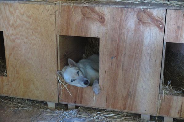 Manchmal schaut er von einer Hütte aus dem Geschehen im Rudel zu.