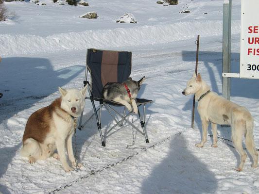 """Mein Snow, ein graziler, schneeweisser Sibierier, ausgestattet mit dem eisernen """"will tho go""""."""