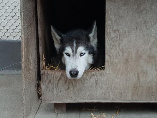 Amarok geniesst den Moment in der Hütte. (Foto M. Habegger)