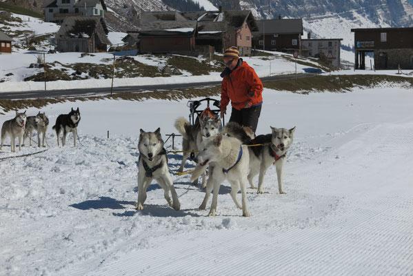 Skeena und Snow bereit zum rennen und ziehen; ein Traumpärchen!