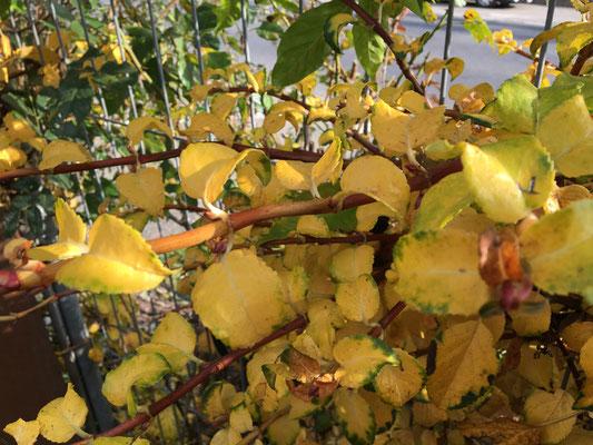 Die Blätter in spektakulärem  Gelb, Rot und Braun, leuchtet der Herbst entlang dem Gehegezaun.