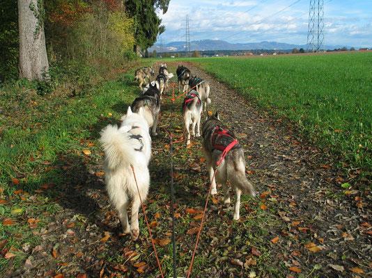Herbsttraining am Wagen durch Feld und Wald