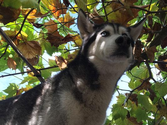 Amarok unter dem herbstlichen Blätterdach steht, nichts ringsum seinem spähenden Blick entgeht.