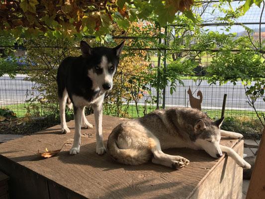Ein Wechsel von Trainings- und Wellness-Tagen, ist für die Husky`s ohne zu fragen, das Schönste in ihrem Leben; um nichts würden sie es hergeben.