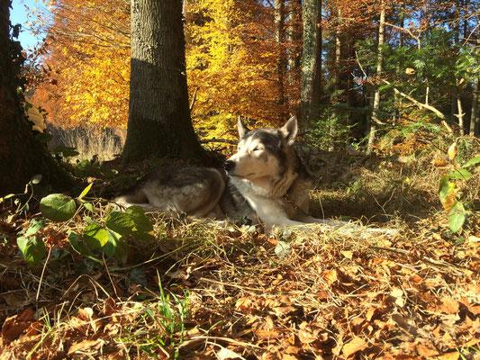 Highlander liegt in einem sonnengoldenen Herbstnest