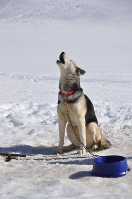 Skeena schmettert voller Leidenschaft das uralte Lied der Huskys in den Schnee hinaus.