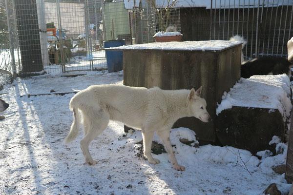 Noch streifft Snow gerne durch sein Rudel und Gehege.