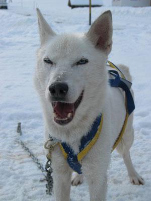 Snow in seiner ganzen Schönheit, lächelt glücklich über ein gelungenes Training.