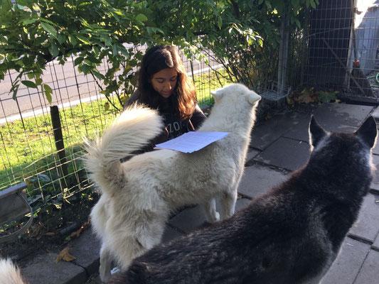 Das Blizzard`sche Stehpult, beim Lernen ein Muss! So hält Noemi Hunde und Französisch in Schuss.