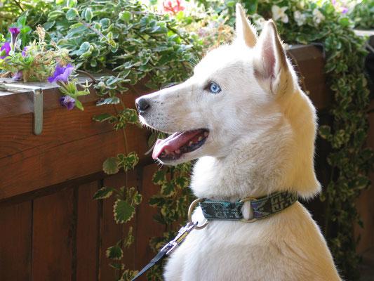 Ein Husky mit Charisma, intelligent, hochsensibel und souverän.