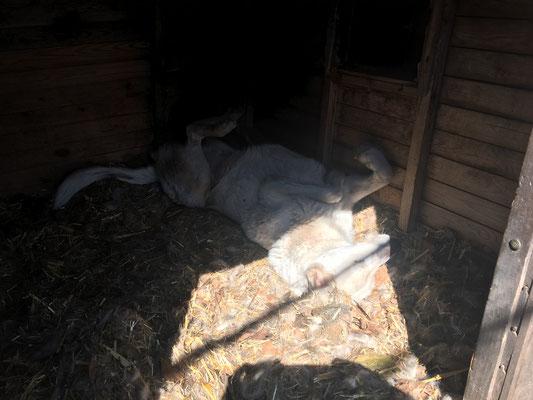 Wenn er in der Hütte an der warmen Sonne am schlafen ist, bemerkt er es nicht mehr, wenn ich das Rudel reinhole.