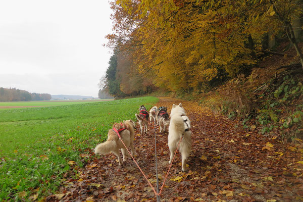 Genugtuung pur, einträchtig mit den Kumpels im Gespann durch den Herbstwald zu laufen...