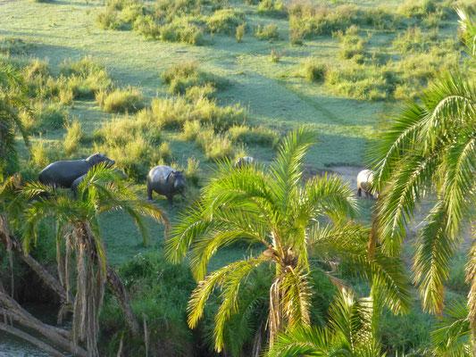Flusspferde in der Serengeti