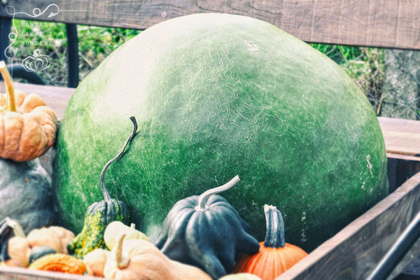 Bushel Gourd (Lagenaria siceraria)